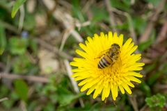 Ciérrese encima del ofbee que recoge el polen en el diente de león amarillo floreciente la Florida Fotos de archivo libres de regalías