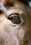 Ciérrese encima del ojo del caballo - bahía Imagen de archivo