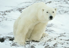 Ciérrese encima del oso polar masculino del retrato (el maritimus del Ursus) Foto de archivo libre de regalías