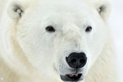 Ciérrese encima del oso polar masculino del retrato (el maritimus del Ursus) Fotografía de archivo libre de regalías