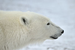 Ciérrese encima del oso polar masculino del retrato (el maritimus del Ursus) Fotografía de archivo