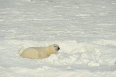 Ciérrese encima del oso polar masculino del retrato (el maritimus del Ursus) Imagen de archivo libre de regalías