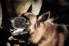 Ciérrese encima del pastor alemán o del Alsatian, pastor alemán joven, pastor alemán en la hierba, perro en el parque Imagen de archivo libre de regalías