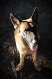 Ciérrese encima del pastor alemán o del Alsatian, pastor alemán joven, pastor alemán en la hierba, perro en el parque Imagenes de archivo
