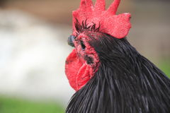 Ciérrese encima del perfil del tres cuartos del gallo Imagenes de archivo