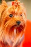 Ciérrese encima del perro lindo de Yorkshire Terrier Imagenes de archivo