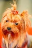 Ciérrese encima del perro lindo de Yorkshire Terrier Imágenes de archivo libres de regalías