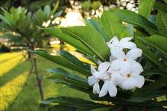 Ciérrese encima del Plumeria asombroso hermoso spp el frangipani florece en el fondo verde de la hoja, flor blanca del Frangipani imágenes de archivo libres de regalías