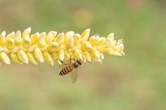 Ciérrese encima del polen amarillo del coco con la abeja del vuelo Imagen de archivo