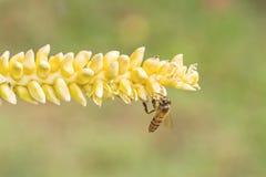 Ciérrese encima del polen amarillo del coco con la abeja del vuelo Fotos de archivo