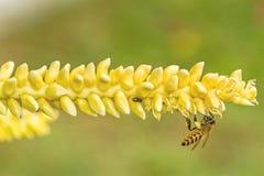 Ciérrese encima del polen amarillo del coco con la abeja del vuelo Fotografía de archivo libre de regalías