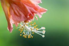 Ciérrese encima del polen de Chaba Fotos de archivo