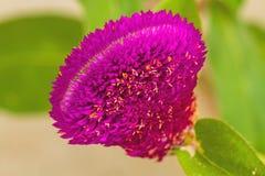 Ciérrese encima del polen del amaranto de globo rosado, flor del botón del soltero Fotos de archivo libres de regalías