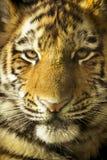 Ciérrese encima del retrato de Amur Tiger Cub Outdoors Foto de archivo libre de regalías