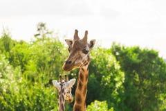 Ciérrese encima del retrato de la jirafa foto de archivo
