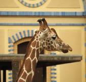 Ciérrese encima del retrato de la jirafa del Masai Fotos de archivo libres de regalías
