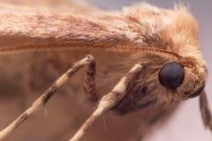 Ciérrese encima del retrato de la polilla de Brown (Anania) Imagen de archivo libre de regalías
