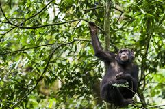 Ciérrese encima del retrato de las trogloditas de la cacerola del chimpancé que descansan sobre el árbol en la selva foto de archivo libre de regalías