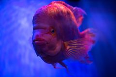 Ciérrese encima del retrato de pescados rojos en fondo azul foto de archivo