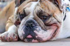 Ciérrese encima del retrato de un dogo inglés Foto de archivo