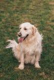Ciérrese encima del retrato de un golden retriever blanco criado en línea pura que localiza abajo en la hierba Fotos de archivo