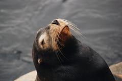 Ciérrese encima del retrato de un león marino, California Imagenes de archivo
