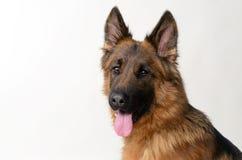 Ciérrese encima del retrato de un pastor alemán joven Dog Dos años del animal doméstico Fotos de archivo libres de regalías