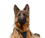 Ciérrese encima del retrato de un pastor alemán mullido menor Dog Looking a la cámara Dos años del animal doméstico Fotografía de archivo