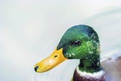 Ciérrese encima del retrato de un pato macho (el varón del pato) Fotografía de archivo