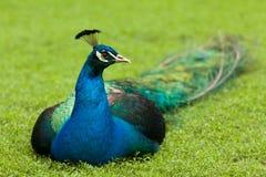 Ciérrese encima del retrato de un pavo real Imágenes de archivo libres de regalías