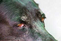Ciérrese encima del retrato de un perro enfermo, perro enfermo imagen de archivo