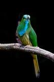 Ciérrese encima del retrato del Abeja-comedor Azul-barbudo Imagenes de archivo