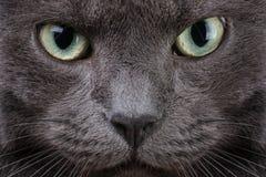 Ciérrese encima del retrato del gato británico imagen de archivo