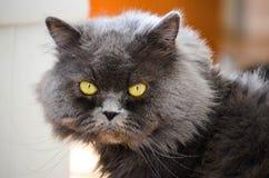 Ciérrese encima del retrato del gato gris serio Imagen de archivo