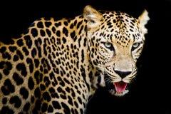 Ciérrese encima del retrato del leopardo con los ojos intensos Imágenes de archivo libres de regalías
