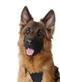 Ciérrese encima del retrato del pastor alemán mullido Dog Looking a la cámara Dos años del animal doméstico Fotos de archivo