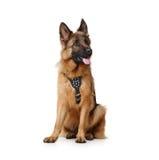 Ciérrese encima del retrato del pastor alemán mullido Dog Sitting en un fondo blanco Dos años del animal doméstico Foto de archivo libre de regalías
