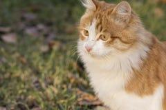 Ciérrese encima del retrato del gato de Brown en el campo al aire libre del otoño imagenes de archivo