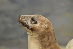 Ciérrese encima del retrato del león marino de California en La Jolla California Fotos de archivo libres de regalías