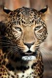Ciérrese encima del retrato del leopardo foto de archivo libre de regalías