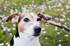 Ciérrese encima del retrato del perro lindo de Russell del enchufe con la flor blanca fotos de archivo libres de regalías