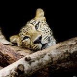 Ciérrese encima del retrato soñoliento del leopardo Fotos de archivo