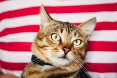 Ciérrese encima del retrato Tabby Male Kitten Cat Imágenes de archivo libres de regalías