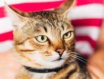 Ciérrese encima del retrato Tabby Male Kitten Cat Fotos de archivo libres de regalías