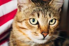 Ciérrese encima del retrato Tabby Male Kitten Cat Fotos de archivo