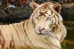 Ciérrese encima del tigre blanco Fotografía de archivo libre de regalías