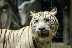 Ciérrese encima del tigre blanco Fotografía de archivo