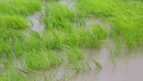 Ciérrese encima del tiro del arroz en campo con ablandan el viento almacen de metraje de vídeo