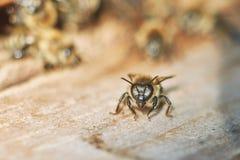 Ciérrese encima del tiro de abejas en el colmenar Imagen de archivo libre de regalías