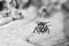 Ciérrese encima del tiro de abejas en el colmenar Imágenes de archivo libres de regalías